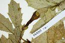 Desfontainia spinosa image