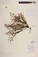 Lechea tripetala image