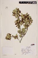 Myrceugenia chrysocarpa image