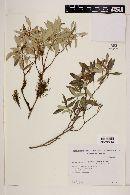Myrceugenia glaucescens image
