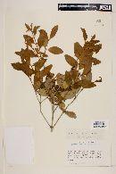 Myrceugenia miersiana image