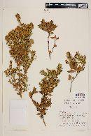 Myrceugenia ovata var. ovata image