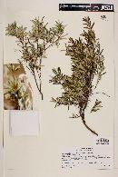 Myrceugenia pinifolia image