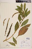 Phytolacca octandra image