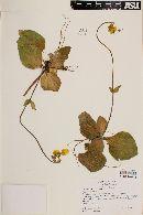 Calceolaria biflora image