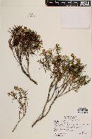 Calceolaria hypericina image