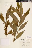 Leucocarpus perfoliatus image