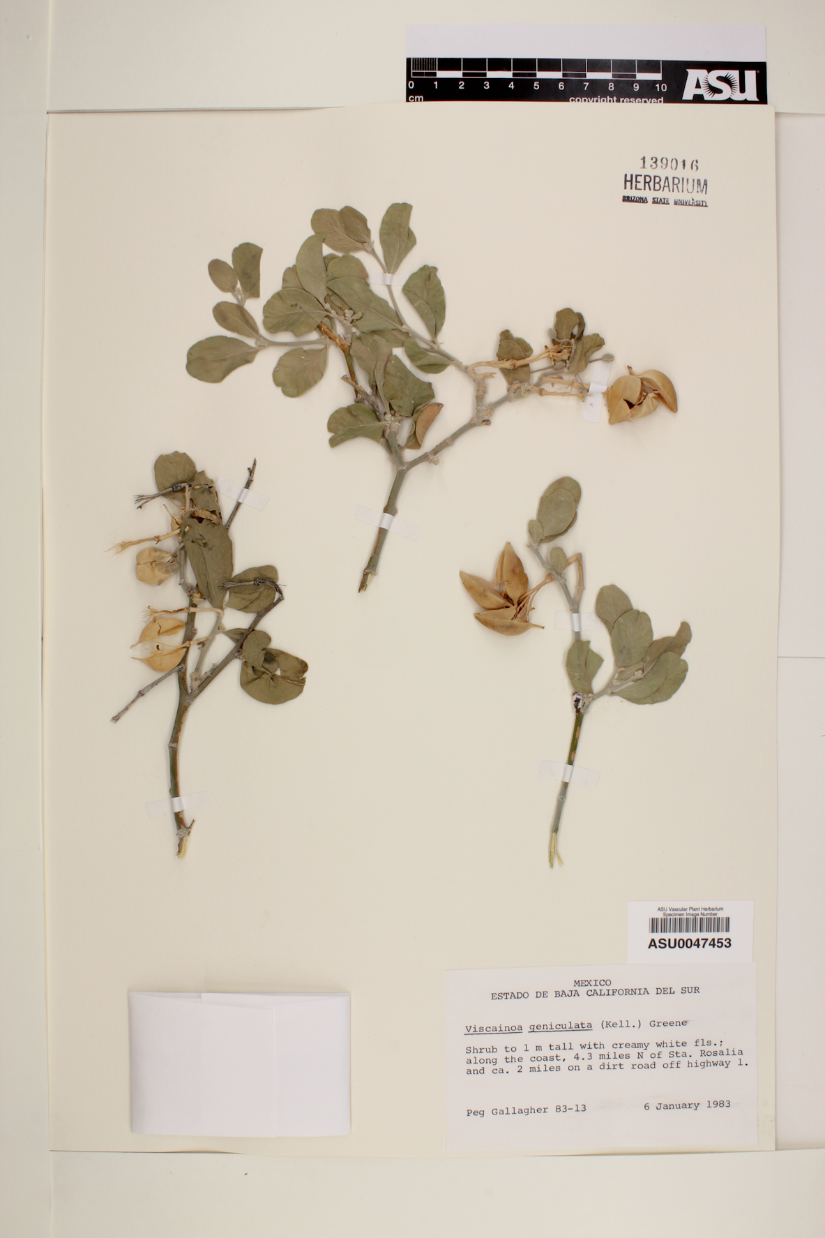 Viscainoa geniculata image