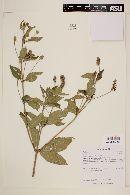 Lantana trifolia image