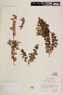 Rhaphithamnus spinosus image