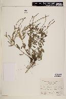 Verbena canescens image