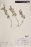 Phyla fruticosa image