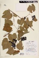 Vitis vinifera image
