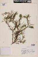 Adesmia arborea image