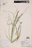 Panicum urvilleanum image