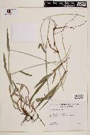 Paspalum conjugatum image