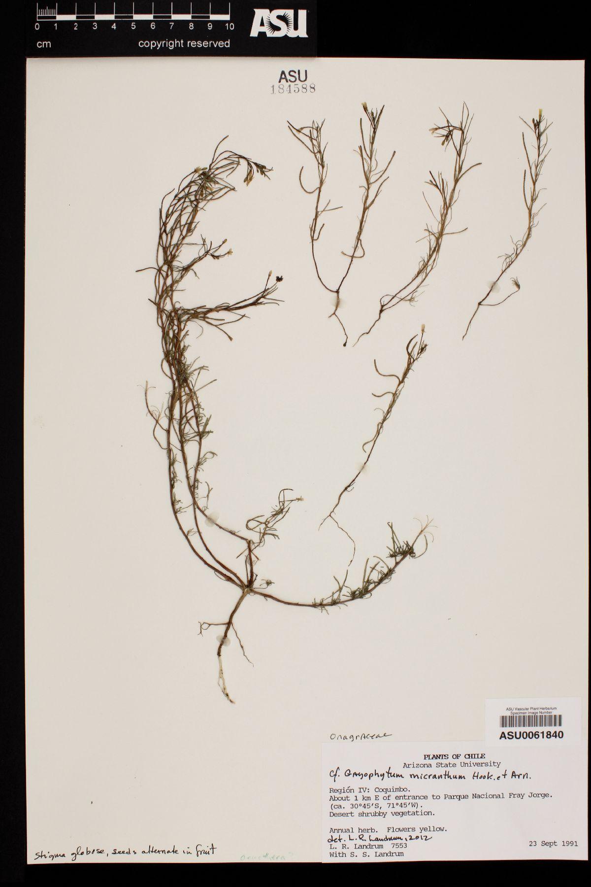 Gayophytum micranthum image