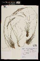 Eragrostis tenuifolia image