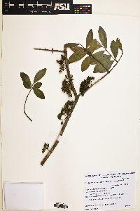 Myrrhinium atropurpureum image