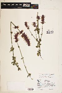 Image of Agastache mearnsii
