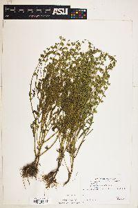 Image of Salvia lanceaefolia