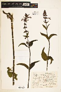 Stachys cooleyae image