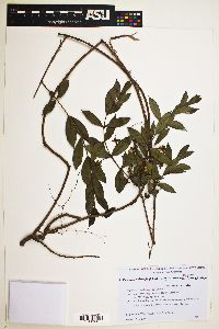 Psidium salutare var. mucronatum image