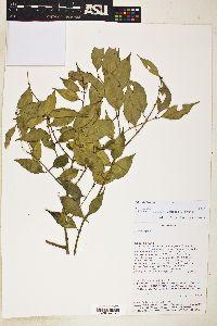 Plinia rivularis image