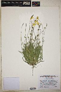 Platystemon californicus image