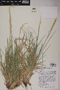 Image of Poa arida