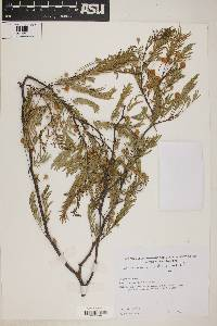 Acacia aroma image