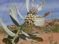 Image of Asclepias welshii