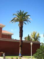Image of Phoenix canariensis