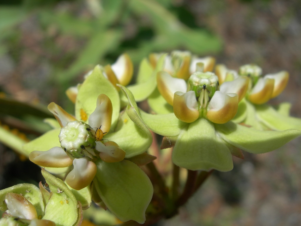 Asclepias glaucescens image