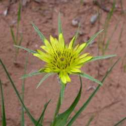 Image of Tragopogon dubius
