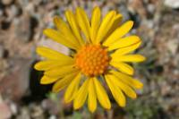 Image of Gaillardia arizonica