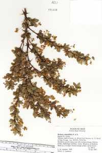Berberis rotundifolia image