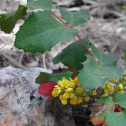 Image of Berberis repens
