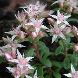 Image of Sedum cockerellii