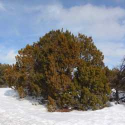 Image of Juniperus monosperma