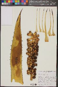 Image of Agave angustiarum