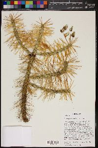 Image of Cylindropuntia hystrix
