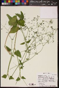 Commicarpus scandens image