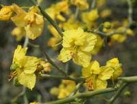 Image of Parkinsonia florida