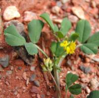 Image of Medicago polymorpha