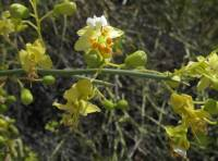 Image of Parkinsonia microphylla