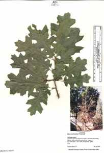 Image of Quercus buckleyi