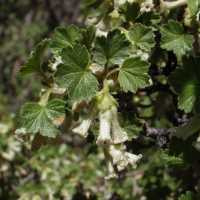 Image of Ribes cereum