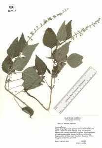 Image of Salvia amissa