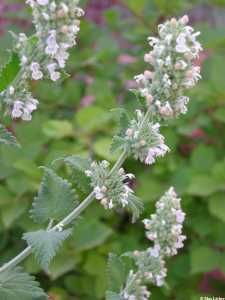 Image of Nepeta cataria